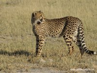 Okavango Delta Safaris - Cheetah