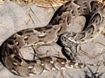 Okavango Delta Safaris - Puff adder