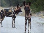 Okavango Delta Safaris - Wild dog
